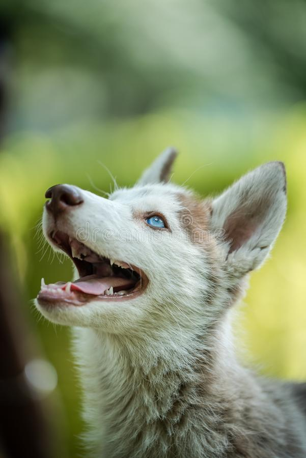 Beautiful Husky Puppy looking above. Cute blue eye Siberian husky puppy looking above in isolated background stock images