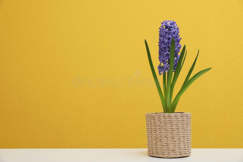 Beautiful hyacinth in wicker pot on table against color background, space for text. Spring flowers stock images