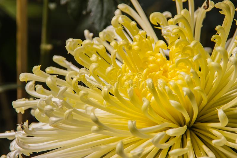 Beautiful hybrid Chrysanthemums flower, also known as mums or chrysanths, are flowering plants of the genus Chrysanthemum in the f royalty free stock photos