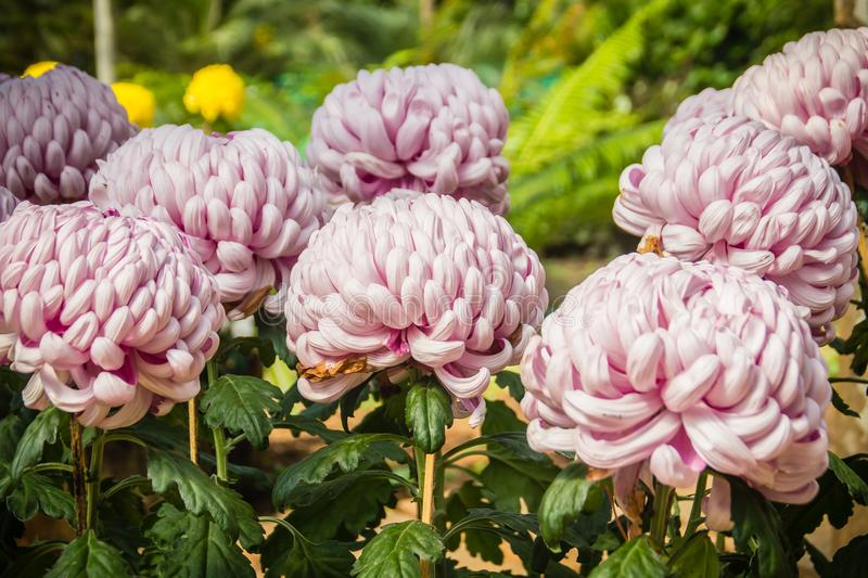 Beautiful hybrid Chrysanthemums flower, also known as mums or chrysanths, are flowering plants of the genus Chrysanthemum in the f royalty free stock images