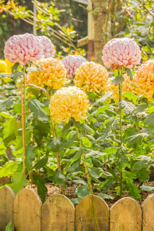 Beautiful hybrid Chrysanthemums flower, also known as mums or chrysanths, are flowering plants of the genus Chrysanthemum in the f stock photography