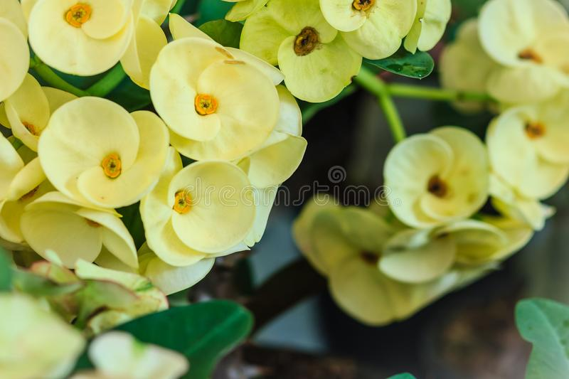 Beautiful hybrid Euphorbia milii (crown of thorns, Christ plant, Christ thorn) yellow flower for sale at the tree market. Yellow royalty free stock image