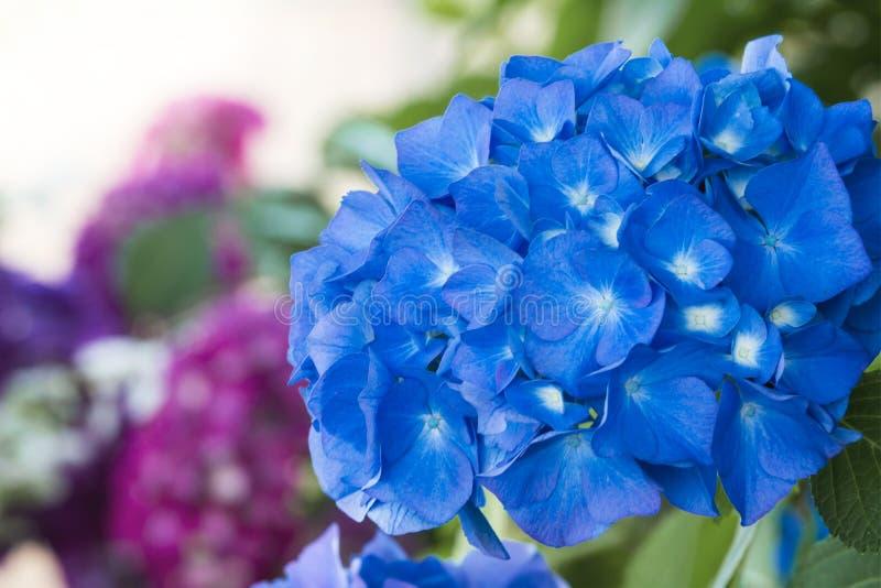 Beautiful hydrangea flowers blooming in the garden; stock photo