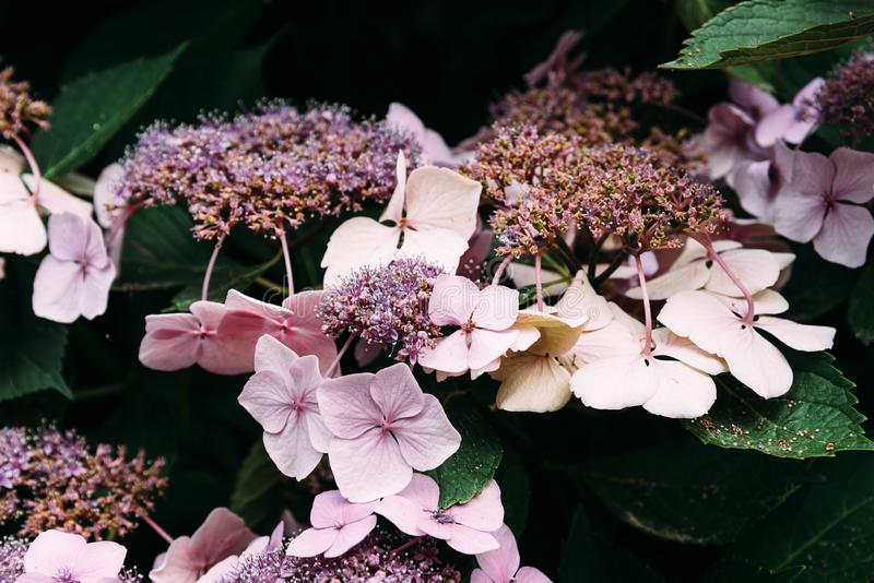 Beautiful Hydrangea Serrata Juno flowers background stock photo