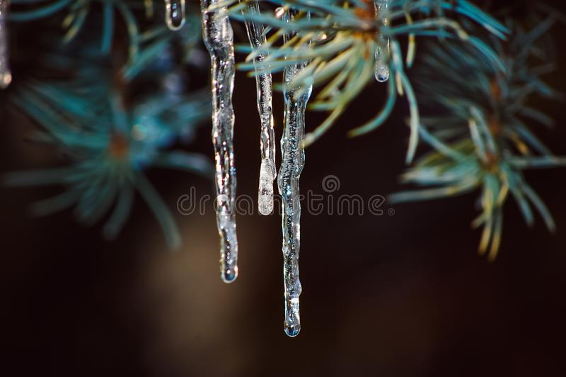 Icicles on the trees during melting and then again freezing. Beautiful icicles on the trees during melting and then again freezing stock image