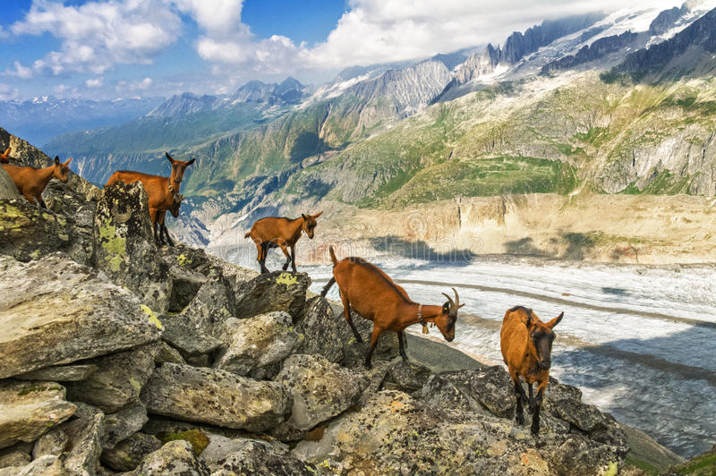 Beautiful idyllic alpine landscape with goats, Alps mountains and countryside in summer royalty free stock photography