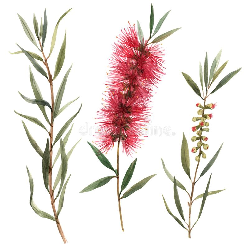 Watercolor australian callistemon flowers illustration vector illustration