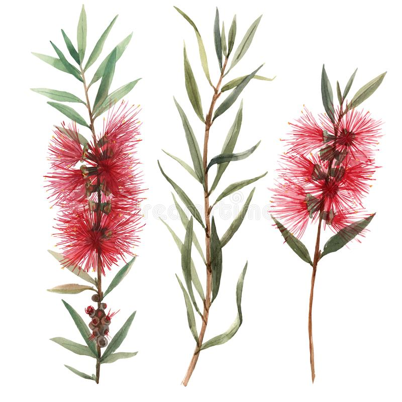 Watercolor australian callistemon flowers illustration royalty free illustration