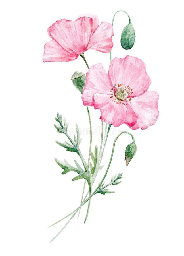 Watercolor poppy flower vector illustration