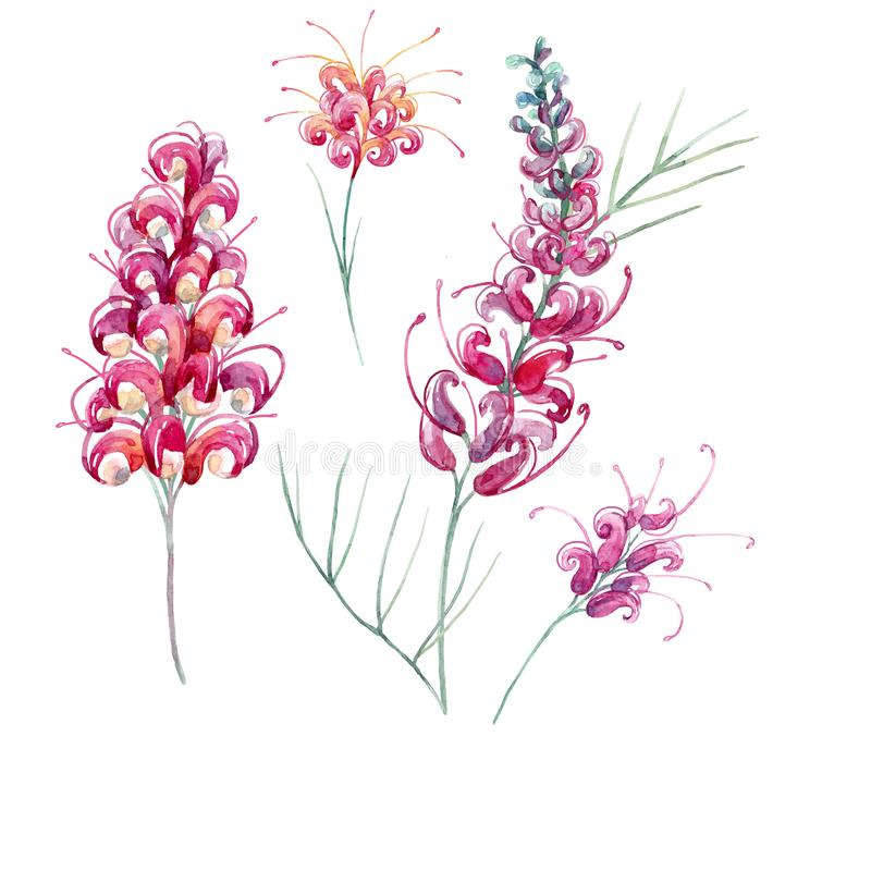 Watercolor australian grevillea flower royalty free illustration