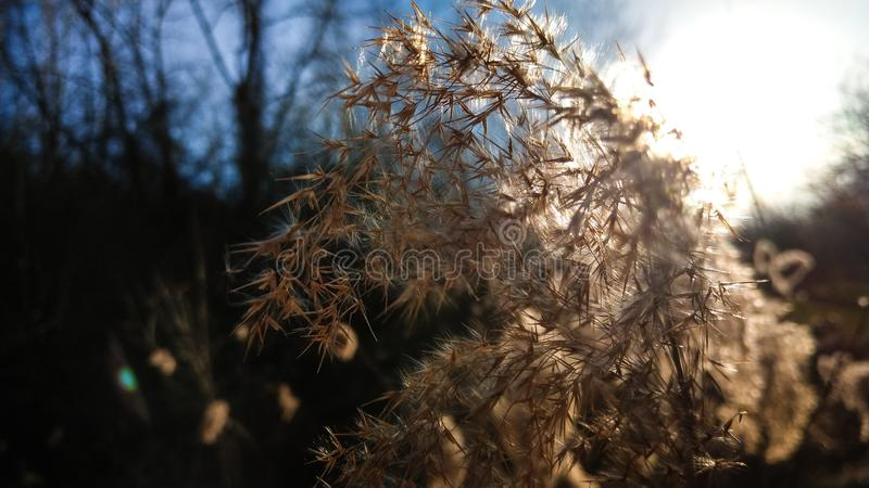 Beautiful image of a common reed detail against the sunlight. Beautiful image of a common reed detail against the sunlight with a short depth of field stock images