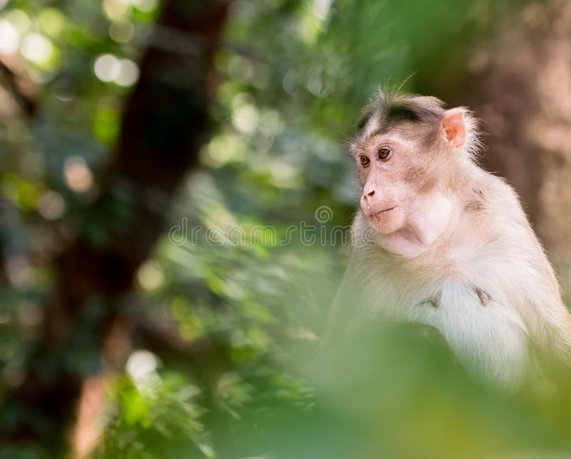 Female bonnet macaque sitting on a tree looking side ways royalty free stock images