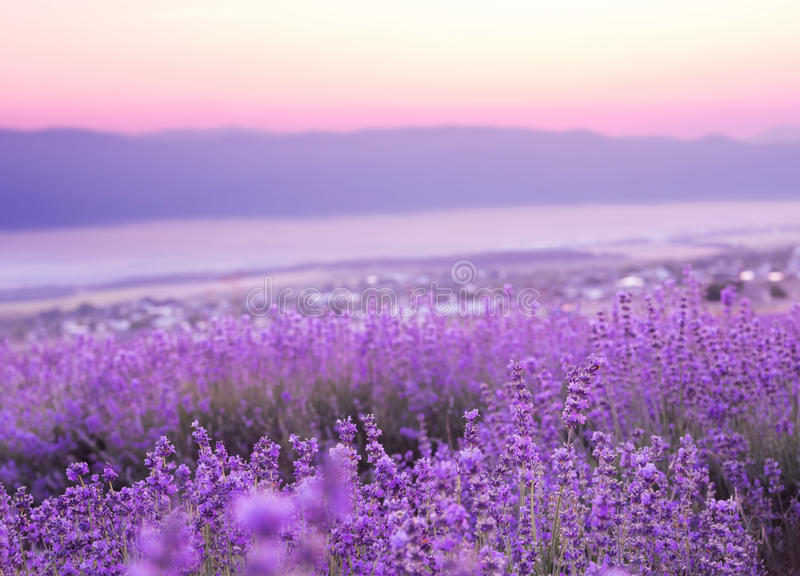 Beautiful image of lavender royalty free stock photography