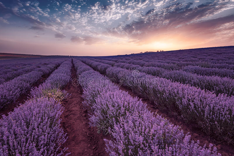 Beautiful image of lavender field. Summer sunrise landscape, contrasting colors. Beautiful clouds, dramatic sky. royalty free stock photography