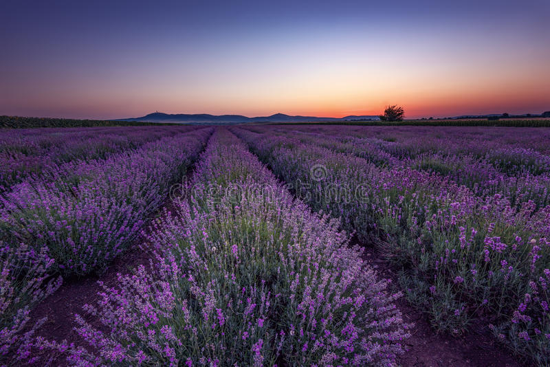 Beautiful image of lavender field. Summer sunrise landscape, contrasting colors. Beautiful clouds, dramatic sky. stock photos
