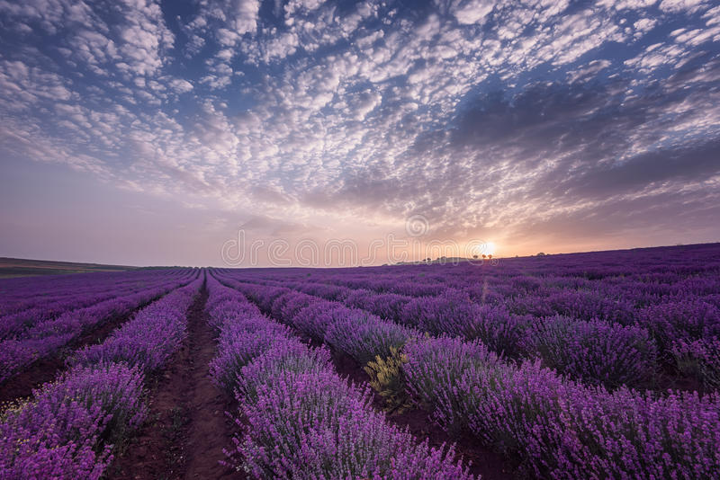 Beautiful image of lavender field. Summer sunrise landscape, contrasting colors. Beautiful clouds, dramatic sky. stock images