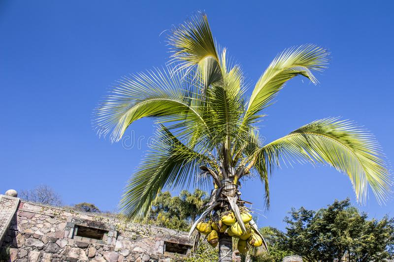 Beautiful image of a palm tree with coconuts. On a wonderful and sunny day with an intense blue sky in Chapala Jalisco Mexico stock images