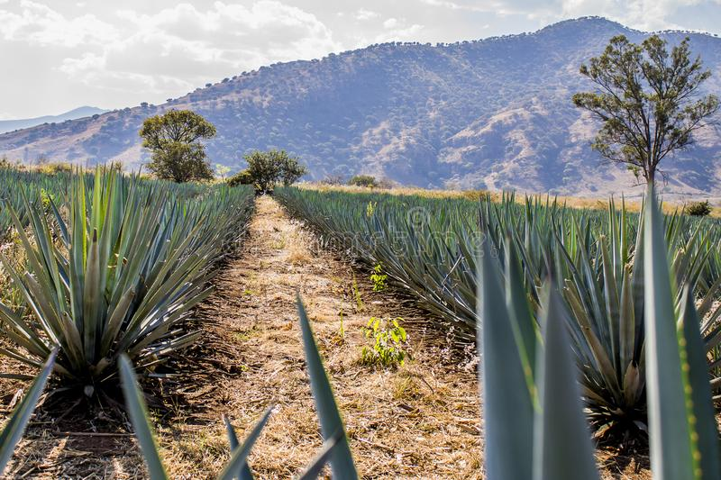 Beautiful image of a path between two straight lines of blue agave in a tequila plantation. With a hill and trees in the background on a wonderful and sunny day royalty free stock photos