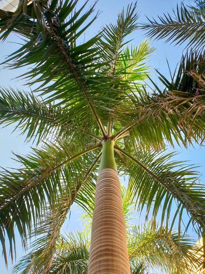 Beautiful image of tall palm tree with long green leaves against bright blue sky. Looking up from the ground royalty free stock image