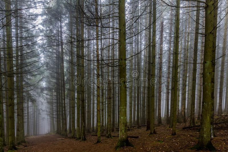 Beautiful image tall pine trees and a path in the middle of the forest. A cold morning with haze on a winter day in the Belgian Ardennes royalty free stock image