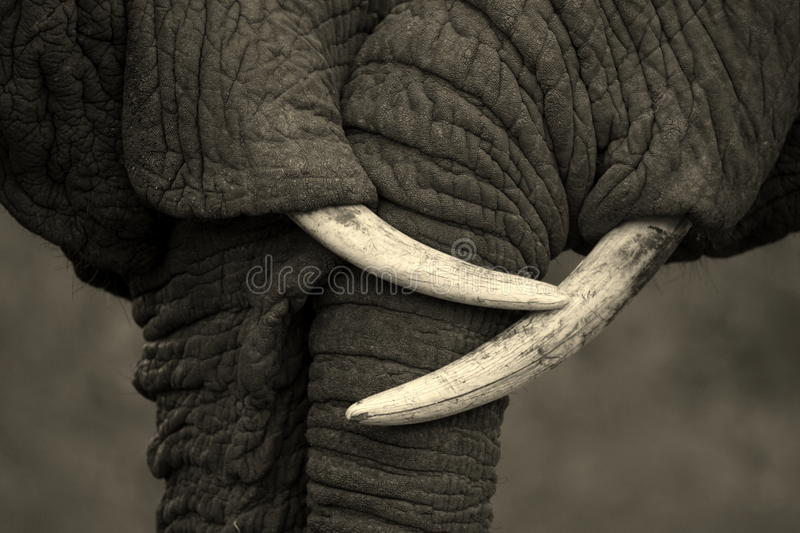 A beautiful image of two African elephants interacting and showing love and effection. stock photography
