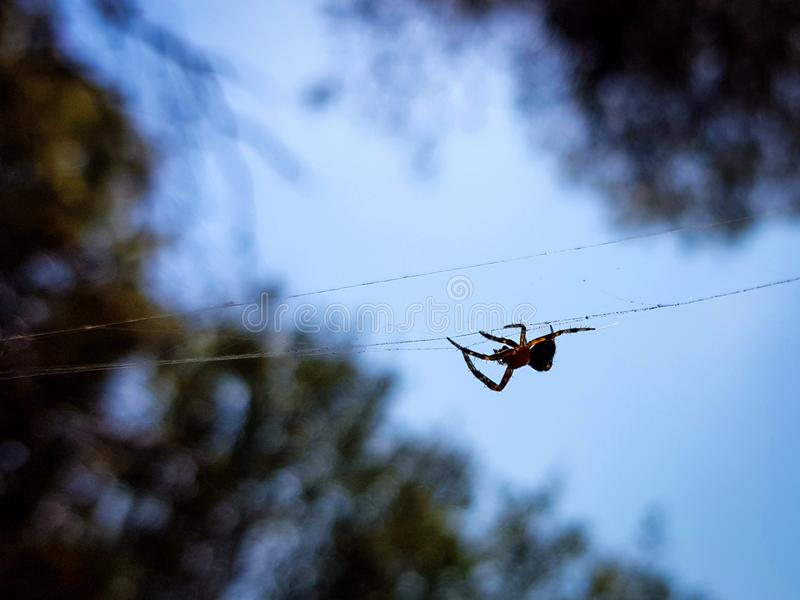 Beautiful image in which you can see a spider walking through the center of the image in a horizontal thread that holds it. Background, macro, nature, animal stock photos