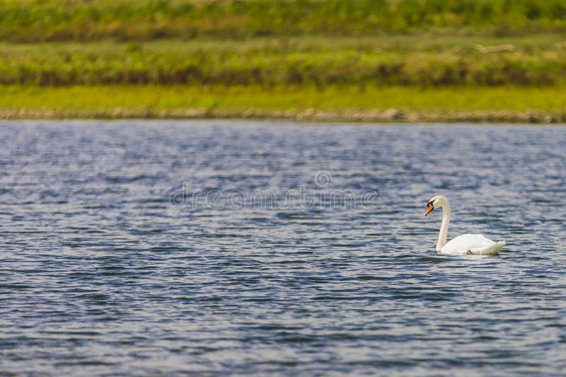 Image of a white swan swimming on calm water with green background stock photos
