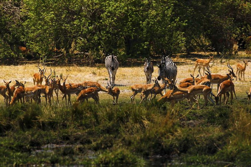 Beautiful Impalas and Burchell`s Zebra on the African Plains royalty free stock images