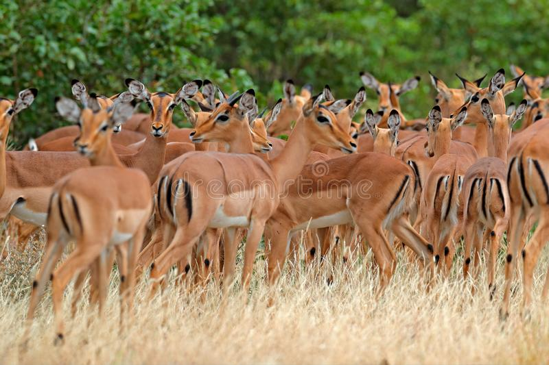 Beautiful impalas in the grass with evening sun, hidden portrait in vegetation. Animal in the wild nature . Sunset in Africa stock photography