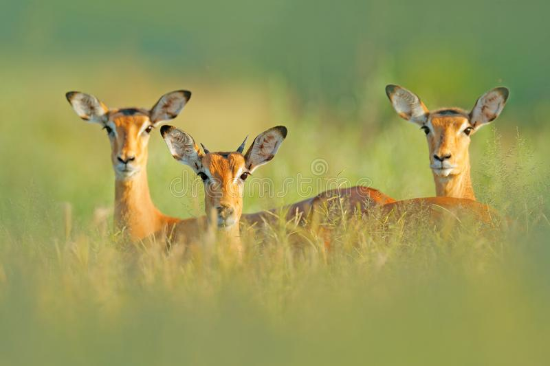 Beautiful impalas in the grass with evening sun, hidden portrait in vegetation. Animal in the wild nature . Sunset in Africa wildl. Ife. Animal in the habitat stock photo
