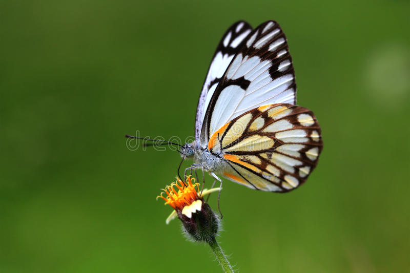 Beautiful indian cabbage white butterfly royalty free stock photography