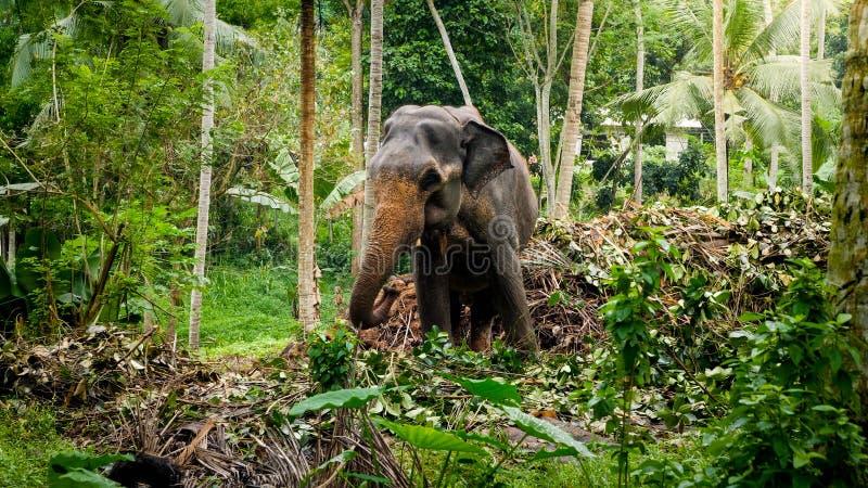 Beautiful indian elephant in wildlife on Sri LAnka royalty free stock photography