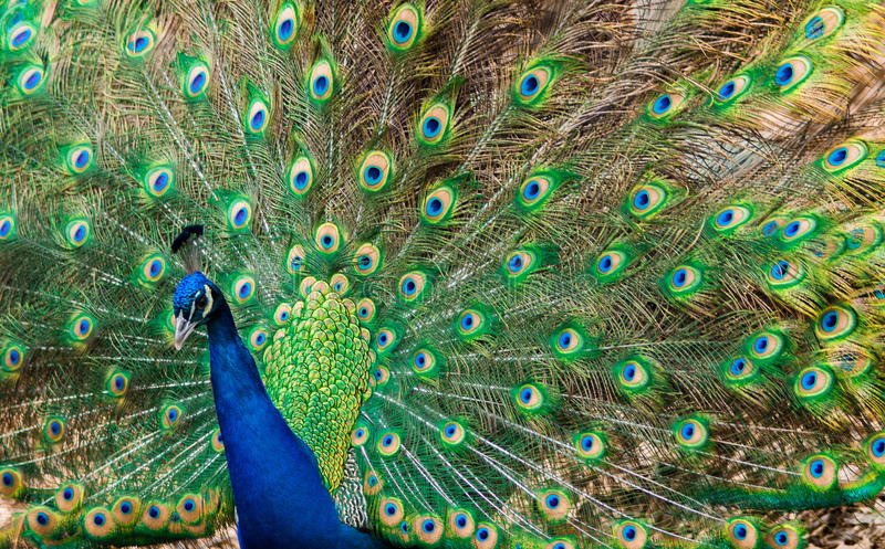 Beautiful Indian Peafoul. Peacock at Bronx Zoo, Bronx, New York, January 2017 stock photos