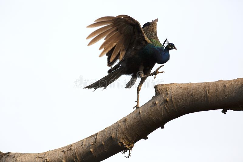 Beautiful Indian Peafowl with light glittering blue neck at Ranthambore Fort, Sawai Madhopur, Rajasthan, India. They are normally found in nature, in farm and stock photography