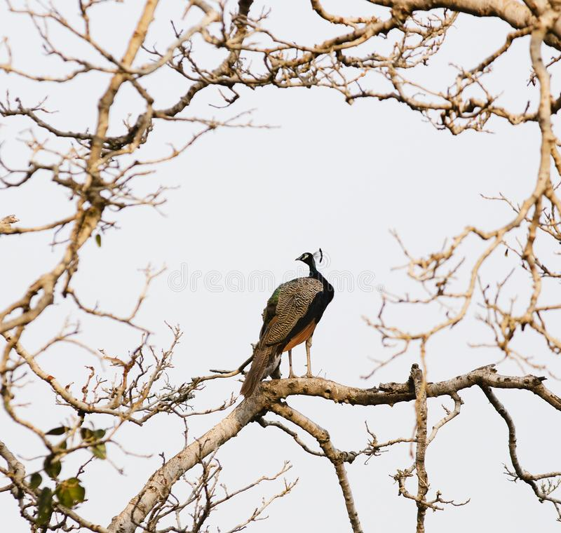 Beautiful Indian Peafowl with light glittering blue neck at Ranthambore Fort, Sawai Madhopur, Rajasthan, India. They are normally found in nature, in farm and royalty free stock image