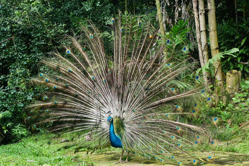 Beautiful Indian Peafowl. Male peacock with beautiful feather tail stock photo