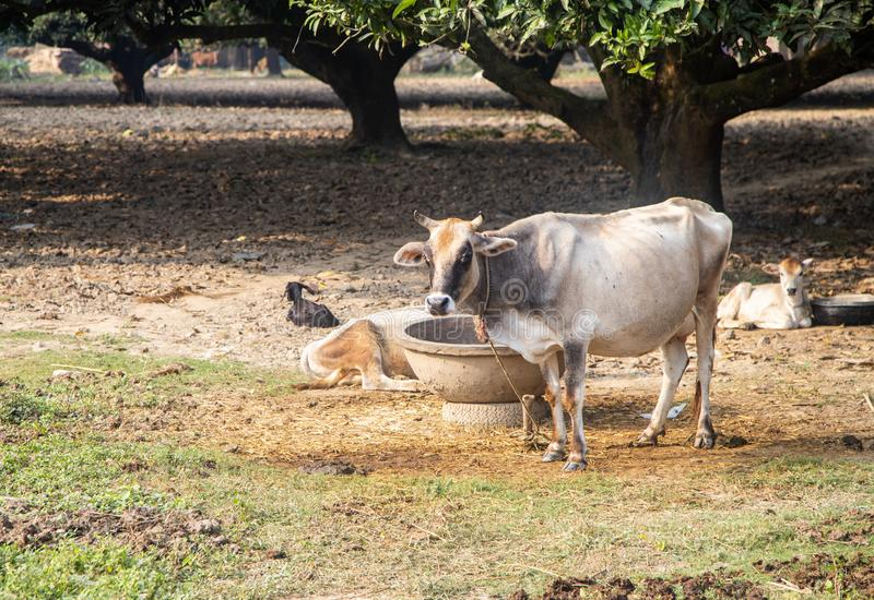 Beautiful Indian sacred humpback zebu cow in the mango forest. Farming in India. Authentic rural landscape with cows. Lifestyle stock image