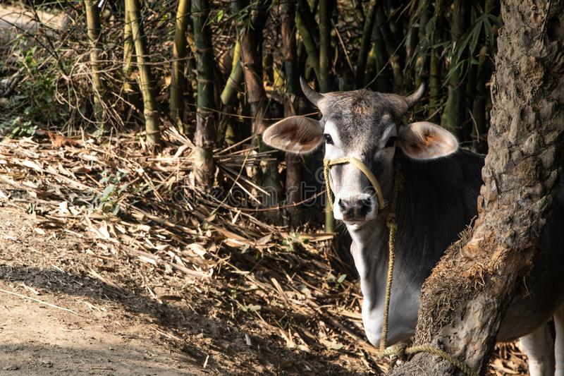 Beautiful Indian sacred humpback zebu cow in the mango forest. Farming in India. Authentic rural landscape with cows. Lifestyle stock photo