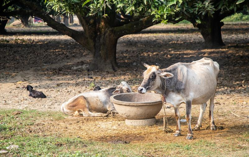 Beautiful Indian sacred humpback zebu cow in the mango forest. Farming in India. Authentic rural landscape with cows. Lifestyle royalty free stock photo