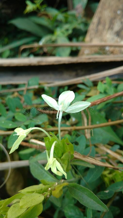 Indian wild Barleria prionitis commonly known as Porcupine stock image