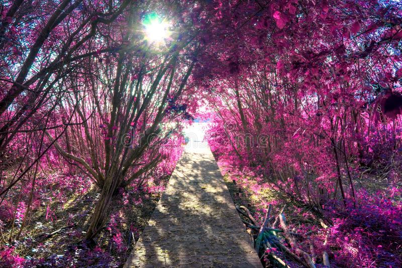 Beautiful infrared shots of pink and purple forest landscapes. Found in europe stock photography