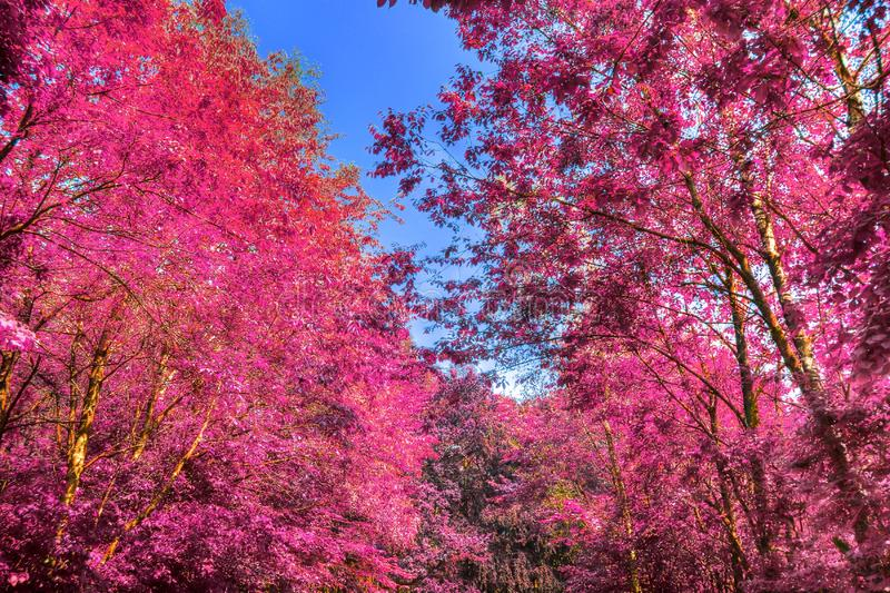 Beautiful infrared shots of pink and purple forest landscapes. Found in europe stock images