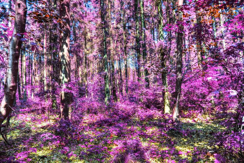 Beautiful infrared shots of pink and purple forest landscapes. Found in europe royalty free stock images