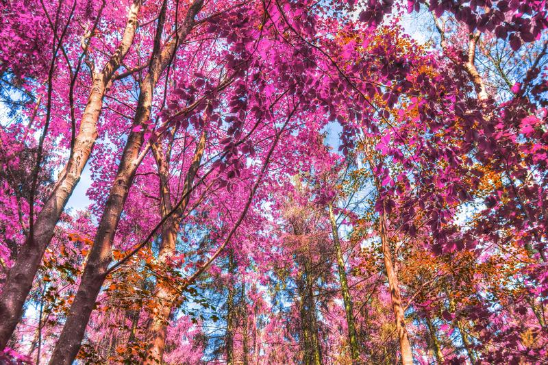 Beautiful infrared shots of pink and purple forest landscapes. Found in europe royalty free stock image