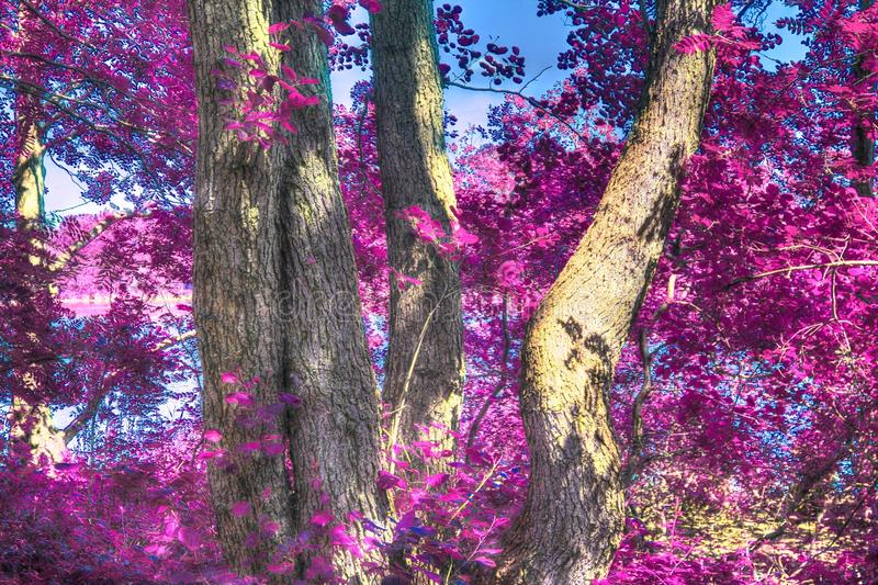 Beautiful infrared shots of pink and purple forest landscapes. Found in europe stock image