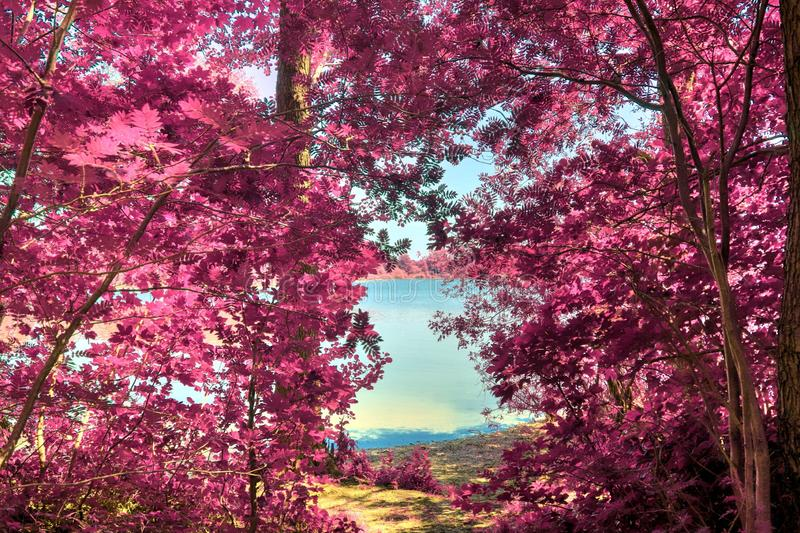 Beautiful infrared shots of pink and purple forest landscapes. Found in europe stock photos