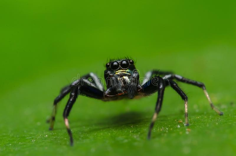 Beautiful insect killer spider in malaysia stock photography