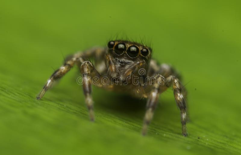 Beautiful insect killer spider in malaysia stock photo