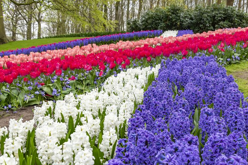 A beautiful interplay of lines including blue and white hyacinths, tulips and Glory of the Snow Chionodoxa in the flower park Ke royalty free stock photography