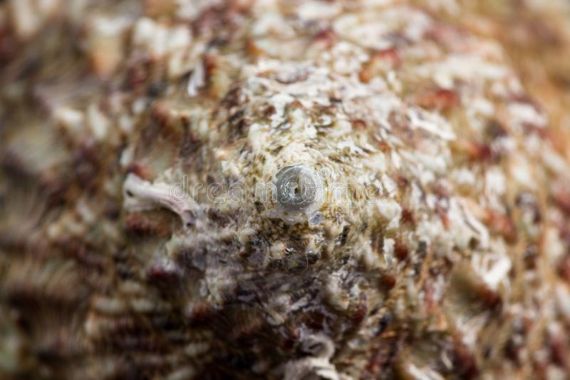 Sea shell macro. Beautiful intricate design with an amazing complex pattern found on a small sea shell royalty free stock image